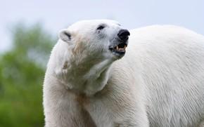 Картинка взгляд, морда, поза, портрет, медведь, пасть, белый медведь