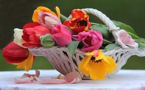 Картинка Цветок, Тюльпан, Натюрморт, Красочный