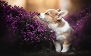 Картинка собака, щенок, пёсик, вереск, Вельш-корги