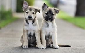 Обои дорога, собаки, взгляд, щенки, road, мордочки, сидят, dogs, look, faces, sitting, puppies