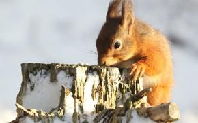 Картинка зима, свет, снег, природа, поза, пень, белка