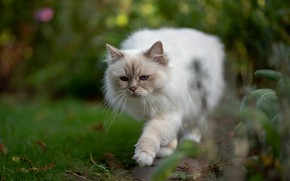 Картинка зелень, кошка, лето, кот, взгляд, поза, размытие, сад, мордочка, белая, прогулка, крадется, боке, рэгдолл