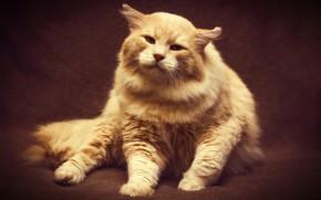 Обои кот, взгляд, свет, поза, темный фон, фон, котик, обработка, лапы, шерсть, пушистый, рыжий, перс, ткань, ...