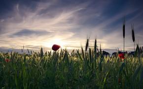Обои поле, небо, солнце, облака, пейзаж, закат, цветы, природа, настроение, мак, рожь, маки, дома, вечер, деревня, ...