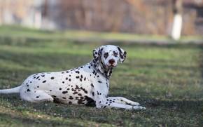 Картинка фон, друг, собака, далматинец
