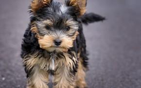 Картинка взгляд, собака, мордочка, милый, щенок, puppy, dog, cute, Йоркширский терьер, small, Yorkshire Terrier