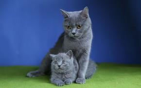 Картинка кошка, кошки, котенок, мех, котёнок, серые, мама, синий фон, британские