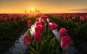 Картинка поле, свет, цветы, весна, утро, тюльпаны