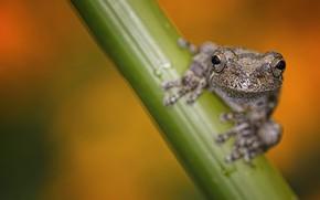 Картинка природа, фон, Grey Tree Frog