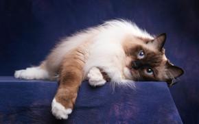 Картинка кошка, кот, взгляд, морда, поза, темный фон, портрет, лапы, лежит, голубые глаза, милашка, пушистая, фиолетовый …