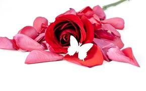 Картинка цветок, бабочка, роза, лепестки, белый фон, красная, боке
