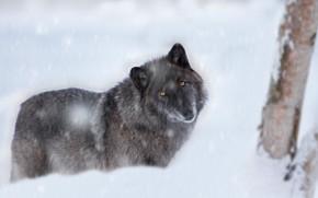 Картинка зима, взгляд, морда, снег, серый, дерево, черный, волк, метель, снегопад