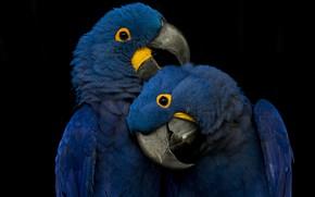 Картинка blue, playing, parrots, picks