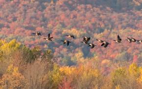 Картинка осень, лес, деревья, полет, птицы, холмы, стая, гуси, стая птиц, канадские, канадский гусь, перелетные, летящие