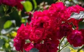 Картинка куст, розы, красные