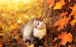 Картинка осень, взгляд, листья, свет, природа, поза, дерево, желтые, мордашка, кленовые, боке, хорек, осенние, смотрит вверх, …