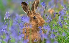 Картинка взгляд, морда, цветы, серый, поляна, заяц, портрет, голубые, уши, колокольчики, зайчик