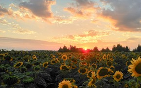 Картинка поле, лето, небо, подсолнухи, пейзаж, закат, природа