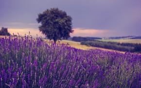 Картинка поле, цветы, дерево, Польша, лаванда