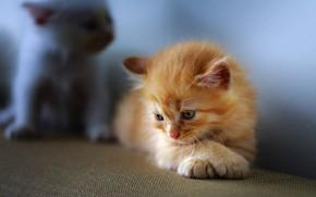 Картинка кошка, взгляд, поза, котенок, фон, голубой, лапки, малыш, рыжий, котята, лежит, котёнок, мордашка, рыжик, грустный, ...