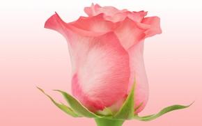 Картинка розовый, роза, бутон