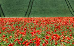 Картинка поле, цветы, полосы, маки, колея, зеленое, посадки, маковое поле