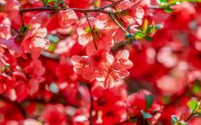 Картинка дерево, ветка, весна, red, цветение, blossom, айва, quince