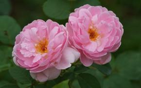Картинка макро, розы, розовые, дуэт