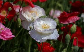 Картинка лето, цветы, маки, размытие, красные, розовые, белые, бутоны, боке, махровые