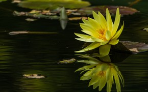 Картинка вода, отражение, желтая, нимфея