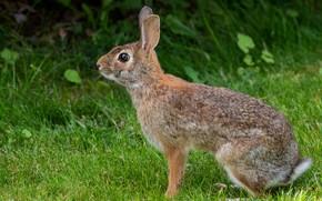 Картинка трава, взгляд, поза, серый, заяц, профиль, зайчик
