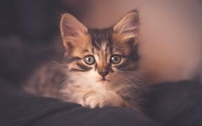Картинка кошка, взгляд, котенок, серый, фон, портрет, обработка, мордочка, ткань, лежит, дымка, котёнок, полосатый, мягкий свет, …