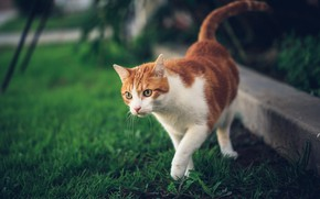 Картинка кошка, трава, кот, природа, рыжий, прогулка
