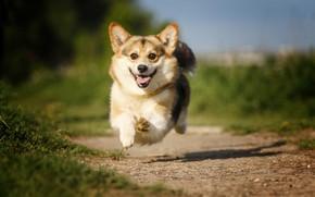 Картинка радость, настроение, прыжок, собака, дорожка, полёт, прогулка, боке, Вельш-корги