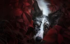 Картинка осень, взгляд, морда, листья, природа, темный фон, портрет, собака, размытие, красные, лежит, карие глаза, осенние, …