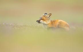 Картинка фон, поляна, малыш, лежит, мордашка, детеныш, лисенок, лисёнок