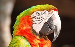 Картинка взгляд, фон, птица, портрет, попугай, боке, ара, яркое оперение, красно-зеленый