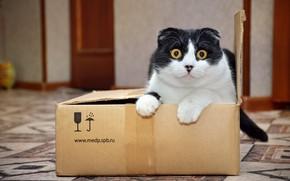 Картинка Взгляд, Кот, Коробка, Животное, Посылка