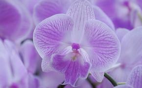 Картинка макро, лепестки, сиреневая, орхидея, Фаленопсис