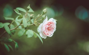 Картинка фон, роза, ветка, бутончики