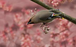 Картинка ягоды, фон, розовый, птица, ветка, плоды, серая, птичка, свиристель