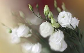 Картинка цветы, букет, размытие, белые, боке, эустома