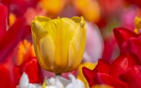 Картинка макро, жёлтый, лепестки, бутон, тюльпаны, красные, боке
