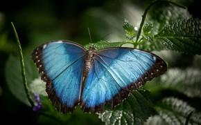 Картинка листья, макро, бабочка, голубая