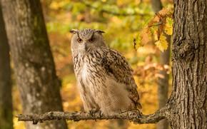 Картинка осень, взгляд, листья, оранжевый, желтый, природа, фон, дерево, сова, птица, ветка, боке, филин, дуб