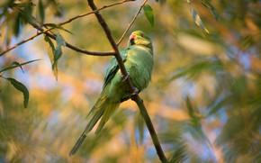Картинка листья, ветки, зеленый, птица, попугай, хвост, волнистый, попугайчик