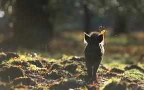 Картинка осень, лес, листья, свет, природа, туман, фон, поляна, утро, силуэт, дымка, прогулка, кабан, боке, кабанчик, …