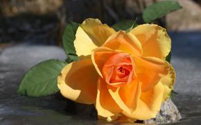 Картинка цветок, листья, макро, роза, желтая