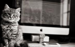 Картинка black & white, Apple, eyes, computer, monochrome, Cat, animal, b&w, fur, pawn, whiskers, feline, cat …