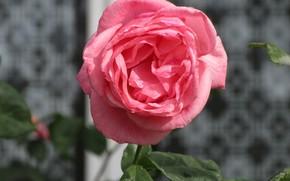 Картинка Роза, Розовая, Окно, Фон, Meduzanol ©, Лето 2018